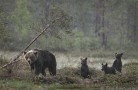 A mom bear with 3 cubs in hard rain - (4309)