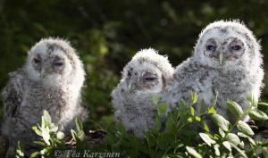 photo of the week 22 (Tawny owls = lehtopöllö)
