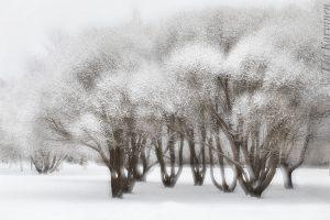 5933 – Terijoensalava in Rovaniemi = Salix fragilis 'Bullata'