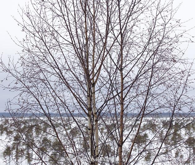 Kauhaneva-Pohjankangas / winter