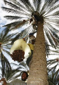115 – Date palms in Tunisia