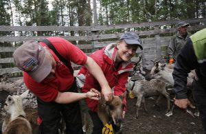3971 – Reindeer herding work in October around the Pyhä-Luosto National Park, Finnish Lapland.