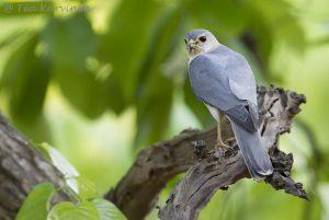 Shikra falcon (female)