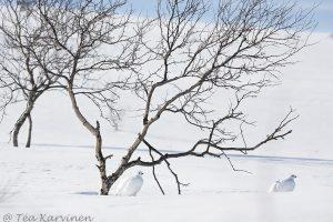 Riekko willow grouse bird lintu valkoinen white lagopus lagopus
