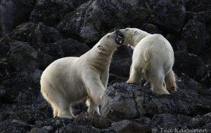 1926 – Polar bears in Svalbard