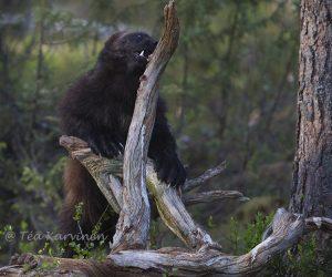 3123 – A wolverine in Lieksa, Finland (www.eraeero.com)