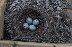 3644 – A blackbird (= mustarastas)