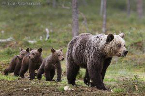 Karhuemo poikasineen kävelee itärajan tuntumassa Kuhmon Viiksimossa.