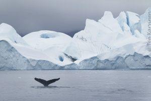 6511 – A humpback whale in Greenland (Ryhävalas Grönlannissa)