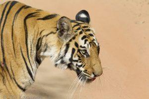 6790 – A tiger in Bandhavgarh National Park