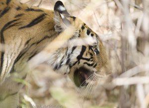 6806 – A tiger in Bandhavgarh National Park, India