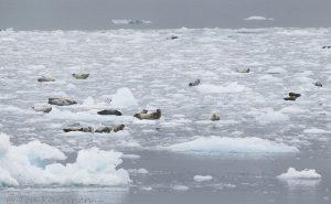Kenai Fjords np - risteily joka lähti ja päättyi Seward'ista.