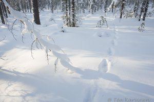 Ahma animal tracks jäljet gulo gulo snow lumi eläin wolverine