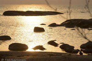 8432 – A barnacle goose (=valkoposkihanhi)