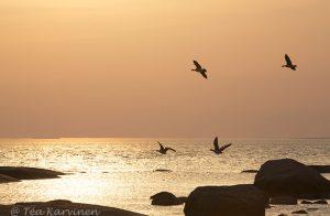 8437 – A barnacle goose (=valkoposkihanhi)