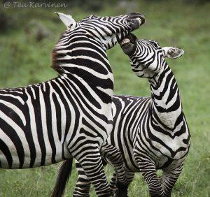 8953 – In Lake Nakuru National Park, Kenya