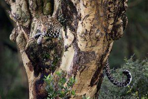 9026 – A leopard in Kenya