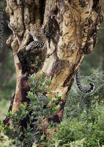 9065 – A leopard in Kenya