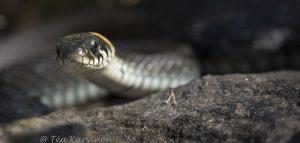 136 - A grass snake (rantakäärme)