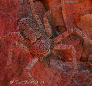 3302 – Philodromus fuscomarginatus (= nopsahämähäkki)