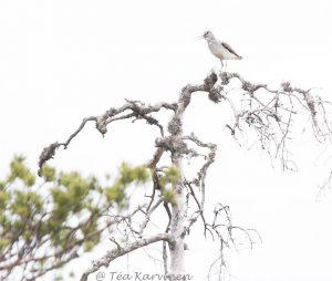 4996 – Common greenshank = Tringa nebularia (valkoviklo)
