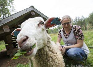"""5204 – """"Sheep herding"""" in Poika-Aho (Lammaspaimenena Poika-Ahossa)"""