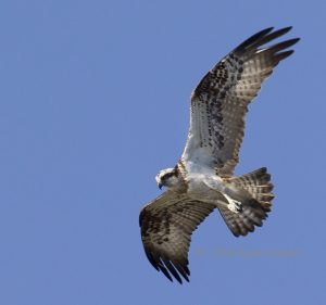 5588– Osprey (kalasääski, sääksi = Pandion haliaetus)