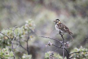5853 – Female Lapland Bunting, Calcarius lapponicus (Lapinsirkku, naaras)