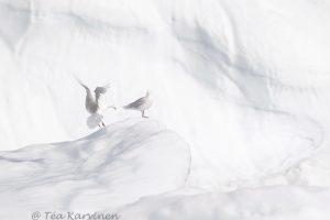 6002 – (Isolokki) Glaucous gulls