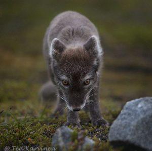 6380 – An arctic fox (naali)