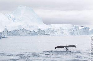 6540 – Humpback whale (ryhävalas)