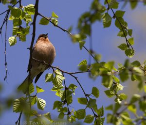 701 –The common chaffinch (peippo)