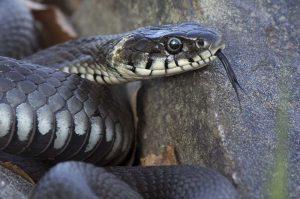 9028 - A grass snake (rantakäärme)