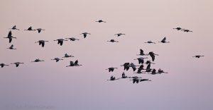 1048 –cranes (kurkia)