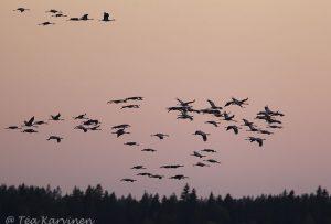 1060 –cranes (kurkia)