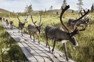 3249 – Reindeers in Pallas