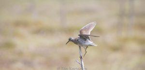5397 – Liro lintu bird the Wood Sandpiper Surkansuon kierros - Tringa glareola