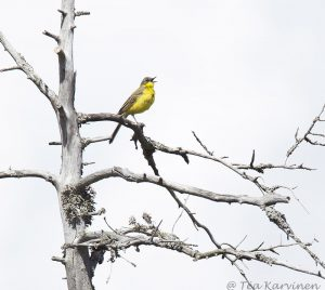 719 – keltavästäräkki  Motacilla flava - western yellow wagtail
