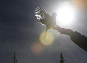 120 - Siberian Jay (kuukkeli)