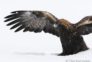 131 – golden eagle