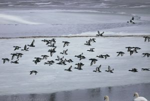 1681 – Tukkasotka Tufted Duck = Aythya fuligula