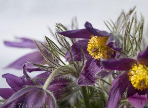 2348 – Lännenkylmänkukka eli tarhakylmänkukka eli ketokylmänkukka Pulsatilla vulgaris