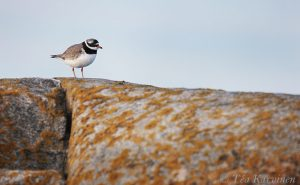 288 – Common Ringed Plover (tylli)