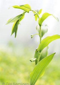 514 – Lehtokielo = Polygonatum multiflorum