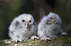2251 – Viirupöllö ural owl