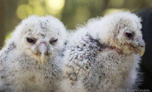 4135 – Viirupöllö ural owl