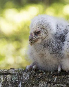 4140 – Viirupöllö ural owl