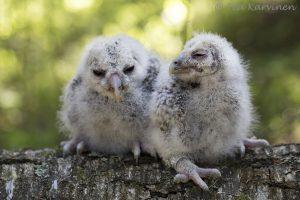 4143 – Viirupöllö ural owl
