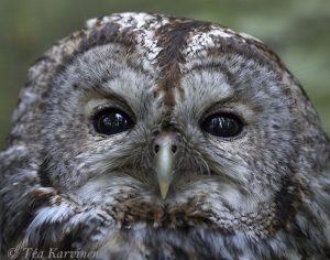 5714 – lehtopöllö – Tawny owl – brown owls – Strix aluco