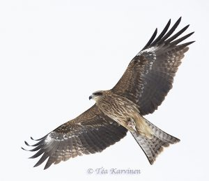 Photo of the week 8 – (haarahaukka = Milvus migrans = the black kite)